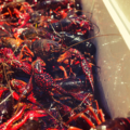 Ice chest filled with live crawfish